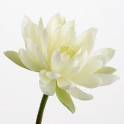Tige de lotus Butterfly...